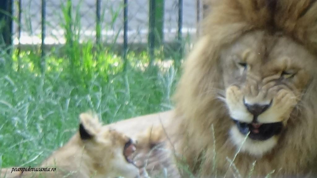 cearta leilor