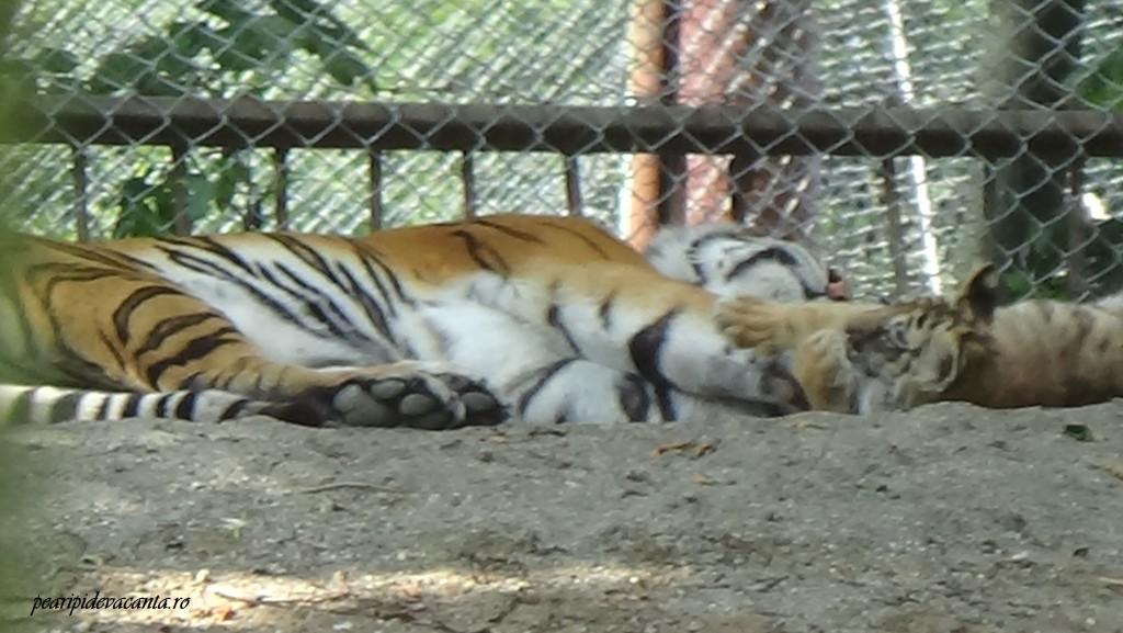 tigrii la Zoo