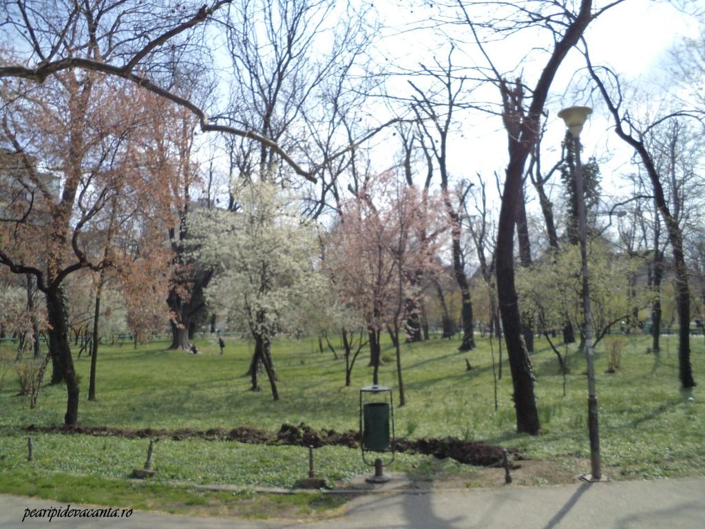 Copaci infloriti Cismigiu