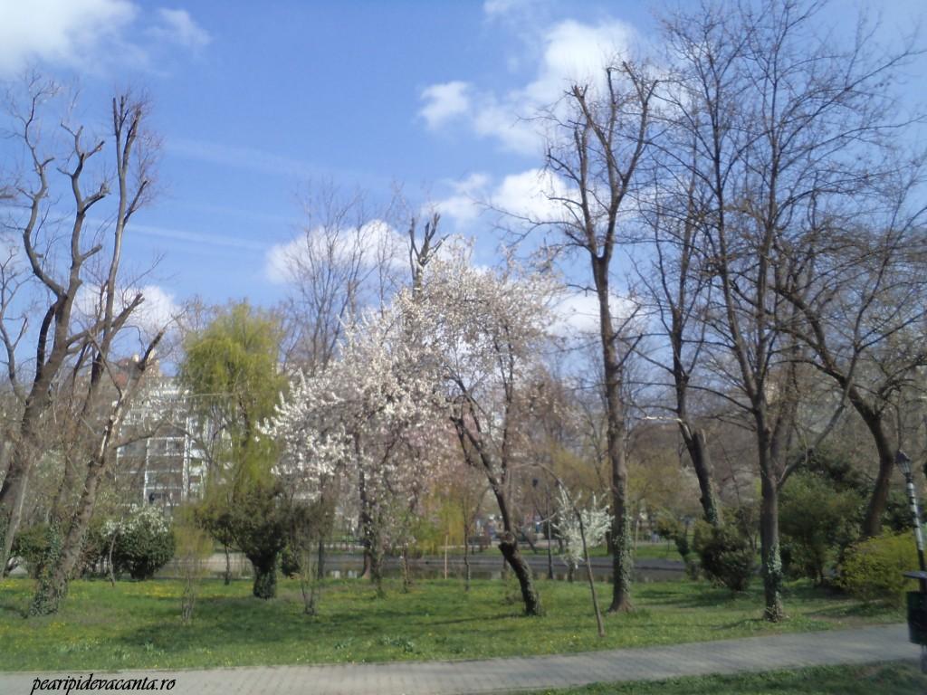 Copaci infloriti in Cismigiu