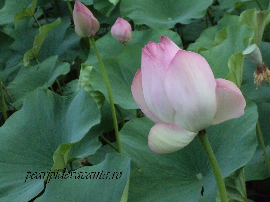 Lacul cu Nuferi-lotusul sacru